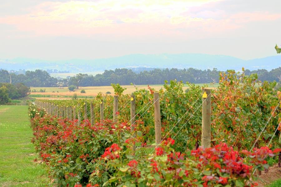 Yarra Valley - Os melhores vinhos da Austrália